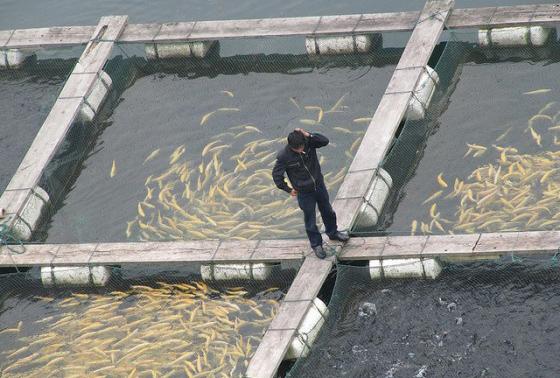 کاربرد ماهی در پرورش ماهی